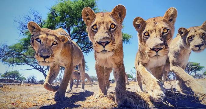 Close up van groep leeuwen in Botswana